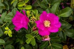 Rosa canina selvatica sulla costa dell'oceano Pacifico Fotografie Stock Libere da Diritti