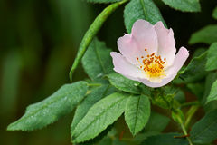 Rosa canina wildflower. Flower of wild dog rose Royalty Free Stock Images