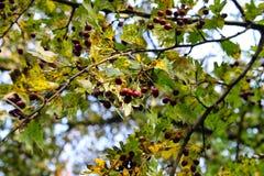 Rosa caninafrukt på träd Royaltyfria Bilder