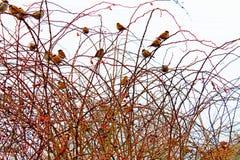 Rosa caninafrukter i tidiga vår och fåglar arkivbild