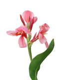 Rosa canna Blume Stockbild