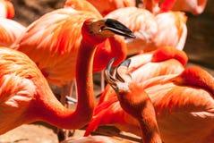 Rosa Caribean flamingo arkivfoto
