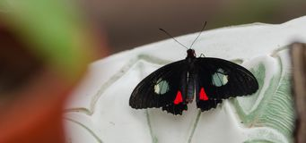 Rosa Cattleheart Parides ipidamasButterfly con le ali aperte in una fontana fotografia stock