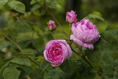 Rosa Centifolia. The famous Rosa Centifolia Foliacea & x28;The Provence Rose or Cabbage Rose & x29; is a hybrid rose developed by Dutch rose breedersin the Stock Photos