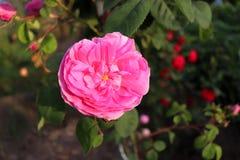 Rosa Centifolia, la Provenza Rosa o il cavolo rosa famosa Rosa è una rosa dell'ibrido diventato dal breedersin rosa dell'olandese Immagini Stock Libere da Diritti