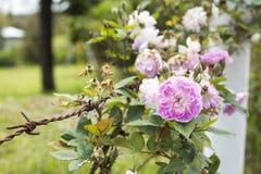 Rosa centifolia och försett med en hulling rep - Colombia Fotografering för Bildbyråer