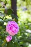 Rosa Centifolia (steg des Peintres), blomma Royaltyfri Bild