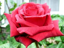 Rosa Cerise imagens de stock royalty free