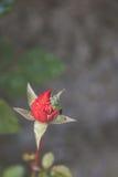 Rosa cerrada del rojo con el insecto verde Imagen de archivo libre de regalías