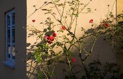 Rosa cespuglio alla parete Immagine Stock