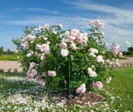 Rosa cespuglio Bianco-Dentellare Fotografia Stock