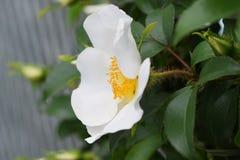 Rosa Cherokee imagens de stock