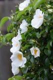 Rosa cherokee foto de archivo libre de regalías