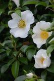 Rosa cherokee foto de archivo