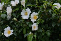 Rosa cherokee fotografía de archivo