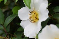 Rosa cherokee Fotografie Stock