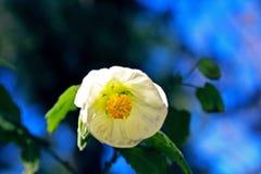 A Rosa Cherokee, parque do balboa de San Diego imagem de stock