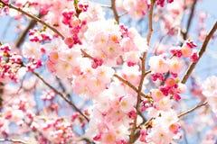 Rosa Cherry Blossom Arkivfoto