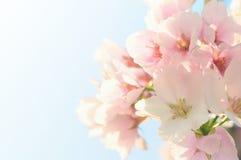 Rosa Cherry Blossom Stockbild