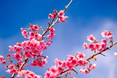 Rosa Cherry Blossom Against Blue Sky stockbild