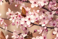 Rosa. Cherry blossom branch in front of uniform background Royalty Free Stock Image