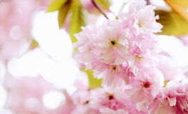 Rosa Cherry Blossom Floral Background royaltyfri foto