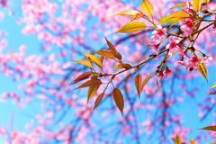 Rosa Cherry Blossom i vår royaltyfria foton