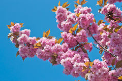 Rosa Cherry Blossom i vår Royaltyfri Bild