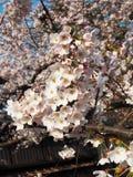 Rosa Cherry Blossom/Kirschblüte Stockfotos