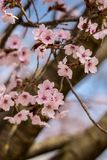 Rosa Cherry Blossom, selektiv fokus Arkivbild