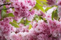 Rosa Cherry Blossom slut upp yellow för fjäder för äng för bakgrundsmaskrosor full Blom- nytt blomningfoto Djup av sätter in på b Royaltyfria Bilder