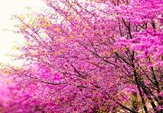 Rosa Cherry Blossoms Arkivbild