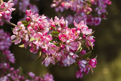 Rosa Cherry Blossoms Lizenzfreies Stockbild