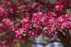 Rosa Cherry Blossoms Stockbild