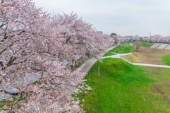 Rosa Cherry Blossoms Lizenzfreies Stockfoto