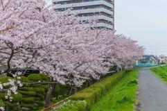 Rosa Cherry Blossoms Lizenzfreie Stockbilder