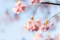 Rosa Cherry Blossoms Sakura mot klar blå himmel arkivbild