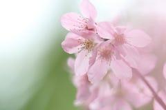 Rosa Cherry Blossoms Soft bakgrund Royaltyfri Bild