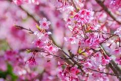 Rosa Cherry Blosssom i vår arkivfoton