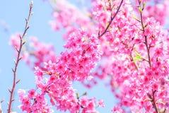 Rosa Cherry Blosssom med bl? himmel royaltyfri bild