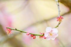 Rosa Cherry Blosssom med bl? himmel royaltyfria bilder