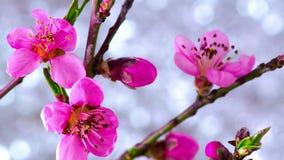Rosa Cherry Tree Flowers lager videofilmer