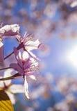 Rosa Cherry Tree Flowers Arkivbild