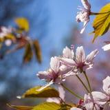 Rosa Cherry Tree Flowers Royaltyfria Bilder