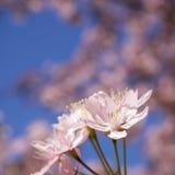 Rosa Cherry Tree Flowers Arkivbilder