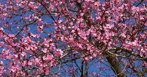 Rosa Cherry Tree Flowers Blossom In vår stock video
