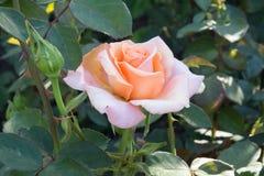 Rosa-chiaro è aumentato Immagine Stock Libera da Diritti