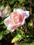 Rosa-chiaro singolo è aumentato Fotografia Stock