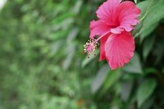 Rosa china en el jardín, fondo verde imagen de archivo