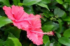 Rosa china en jardín imagenes de archivo